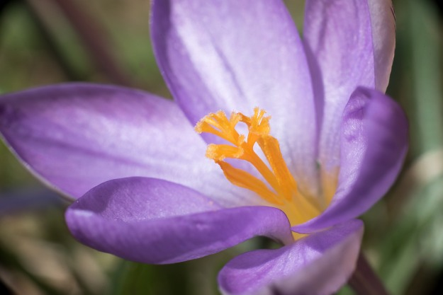 Crocus in macro.