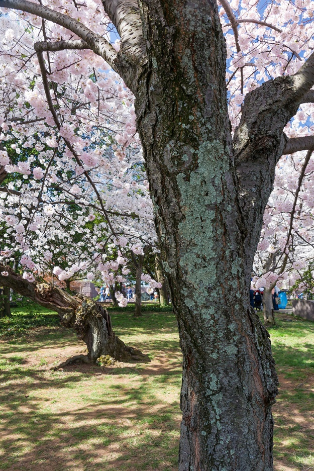 Cherry Blossom Festival in Washington DC. Taken on April 12, 2015.