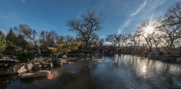 ABQ Biopark Japanese Garden wide angle, ducks taking flight