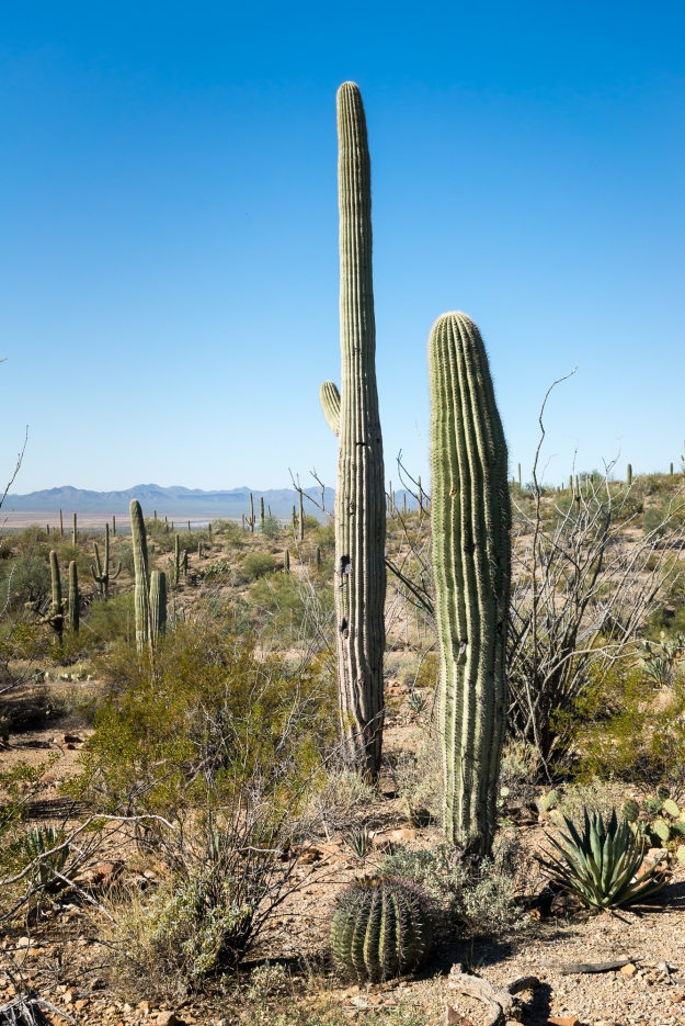 Saguaro trees in the desert